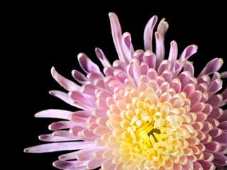Chrysanthemums work best at ridding the air of benzene, a chemical that is used in many laundry detergents. (©iStockphoto/Thinkstock)